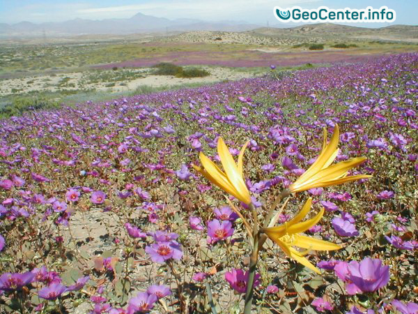 Зацвела самая засушливая пустыня мира Атакама в Чили