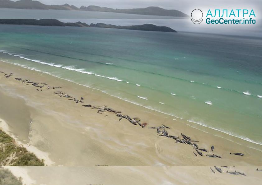145 китов выбросились на берег Новой Зеландии, ноябрь 2018