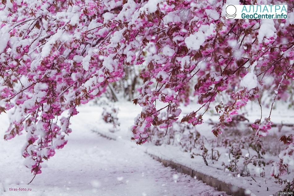 Японская сакура оказалась в снежной пелене, март 2018 г.