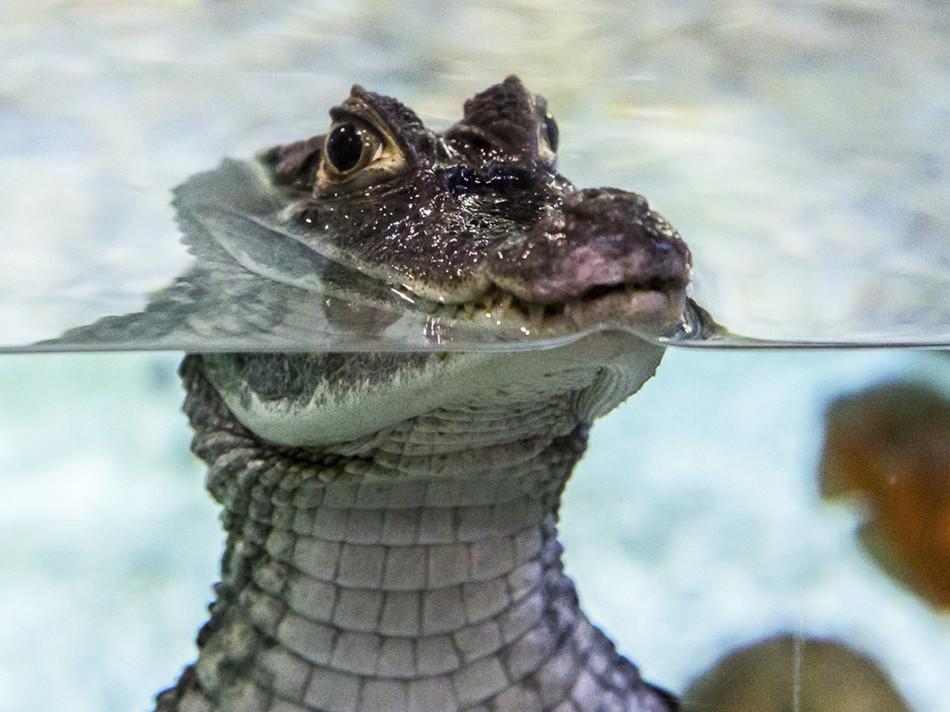 Krokodíly v uliciach mesta Vadodara (India), august 2019