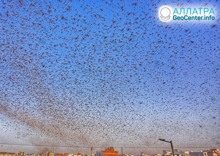 Вторая волна саранчи захватывает Восточную Африку, Пакистан, Индию, май 2020